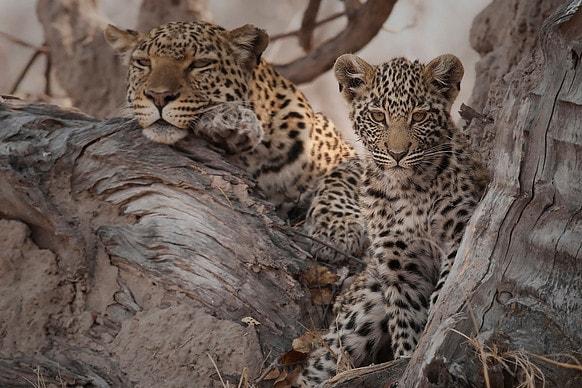 zambibia