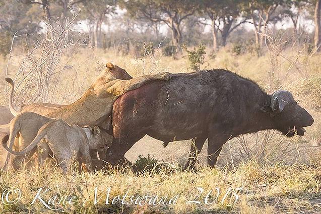 lion-v-buff1