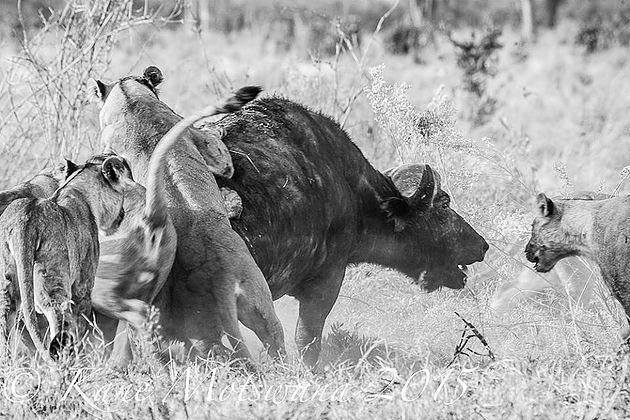 lion-v-buff2