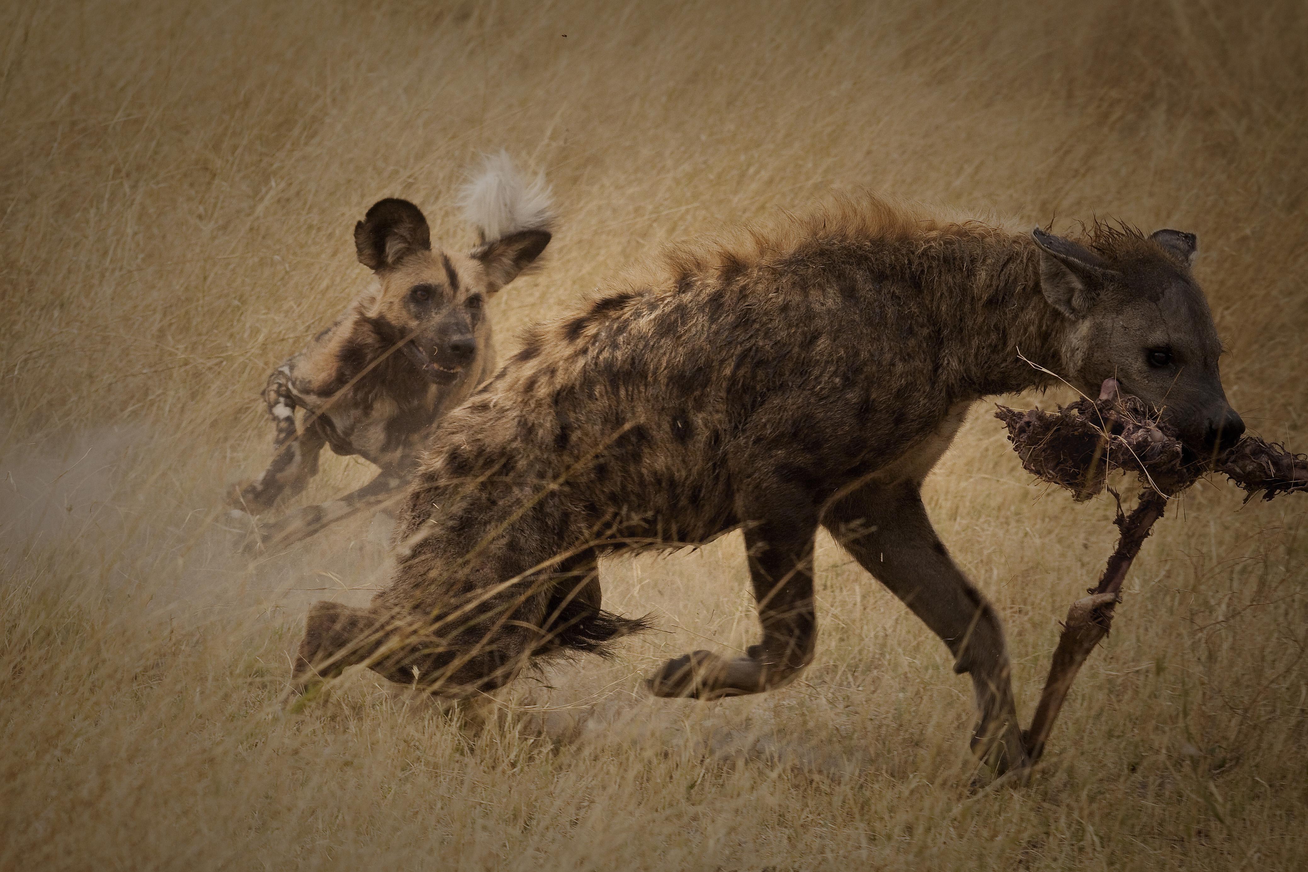 Kane Motswana  wild dog chasing hyena_1