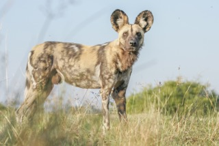 Wild dog, Safari Embassy