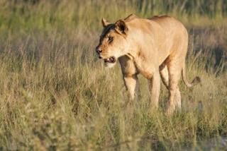 lioness,Safari Embassy